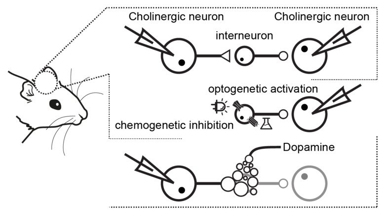 Figure illustrating Cholinergic neurons in the striatum inhibit each other via TH-interneurons. Dorst and colleagues used patch-clamp recordings, optogenetics, and chemogenetics, to study the pathway and its regulation by dopamine.