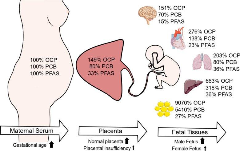 Transferência de produtos químicos do soro materno para a placenta e tecidos fetais