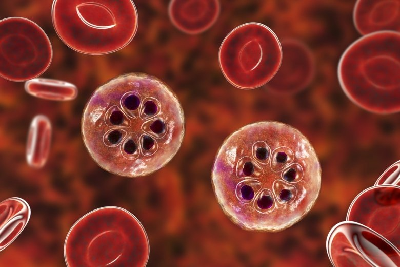 Malaria infected red blood cells.