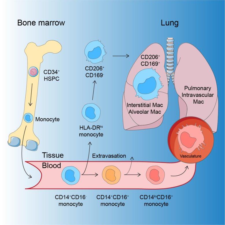 The development of human macrophages. Credit: Karolinska Institutet research team