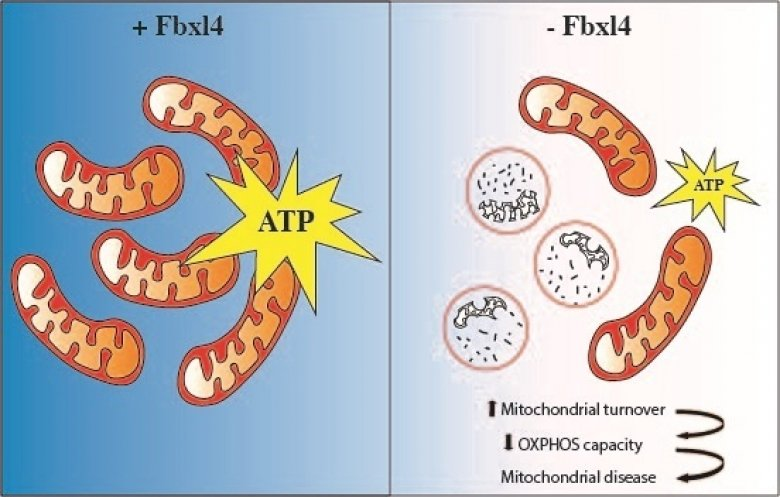 Illustration showing how the absence of FBXL4 leads to degradation of mitochondria that results in decreased ATP (energy) production and mitochondrial disease.