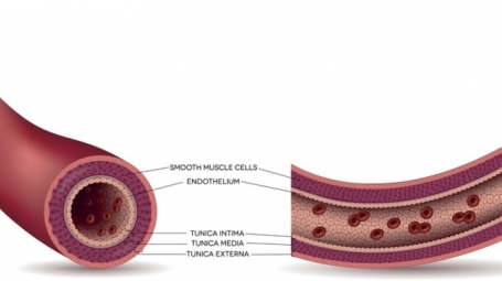 Illustration of a healthy artery with its different layers, including endothelial cells on the inside of the vessel wall. Illustration: Getty Images