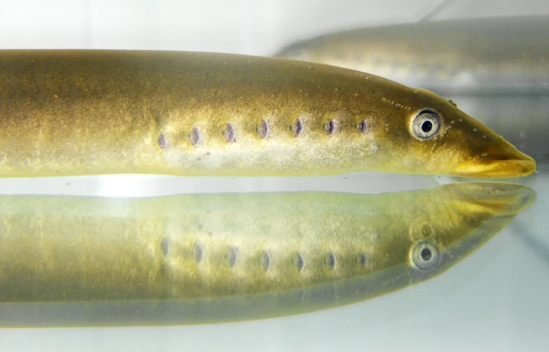 Photo of the lamprey, which is one of the oldest groups of extant vertebrates